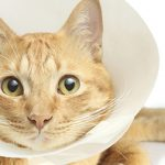 8 mythes courants sur la chirurgie de chats