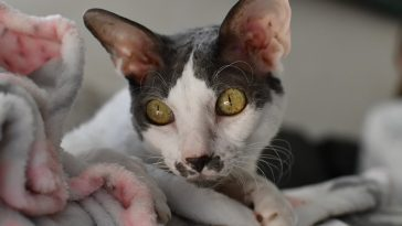Le chat Cornish Rex (Rex de Cornouailles)