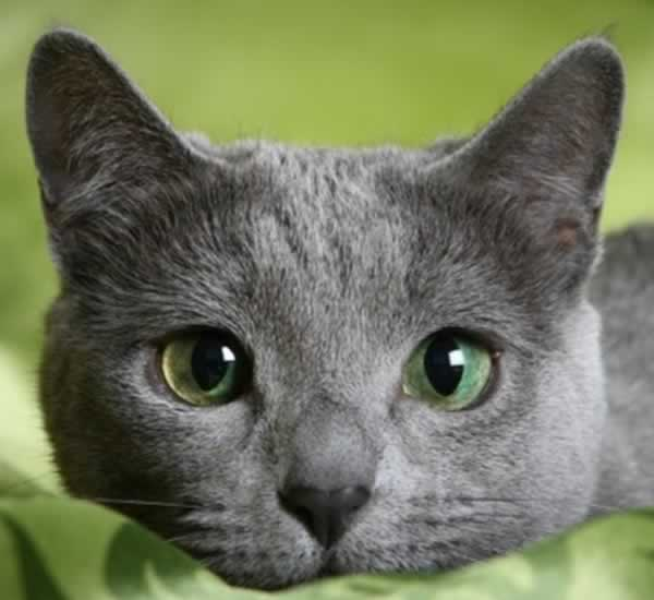 Charmant chat bleu russe (Russian blue)