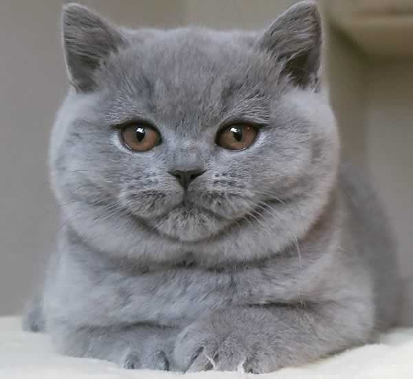 Joli chat british shorthair gris
