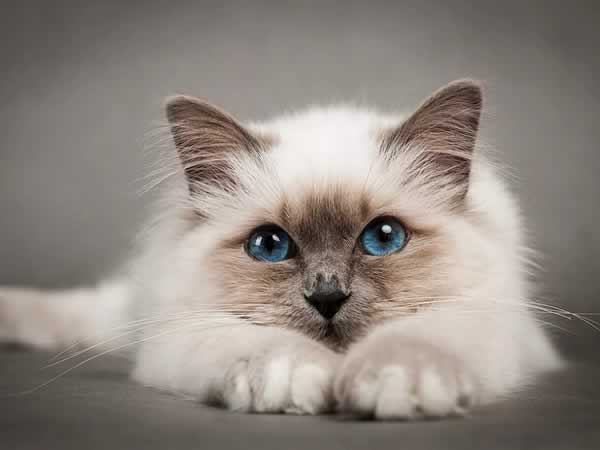 Beau chat ragdoll allongé