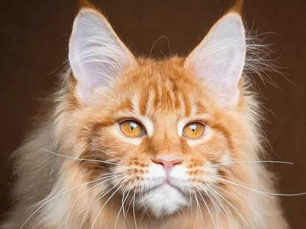 """Beau chat Maine Coon """"lion"""""""