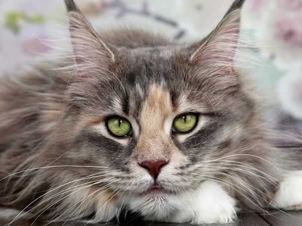 Beau chat Maine Coon yeux verts