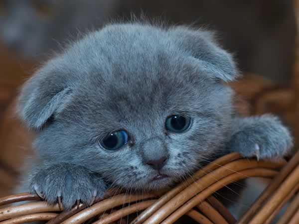 Petit chaton mignon scottish fold gris
