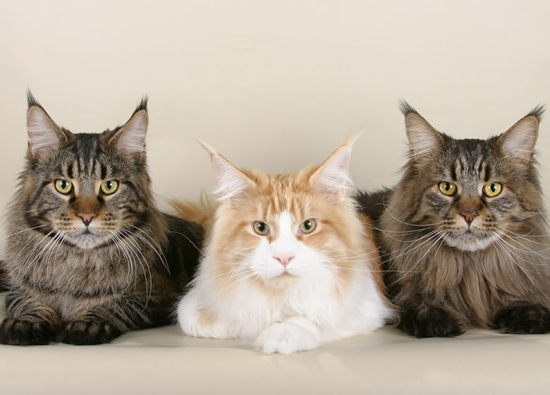 Maine Coon adulte aux couleurs multiples