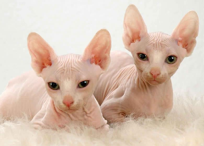 Deux mignons chatons Sphynx