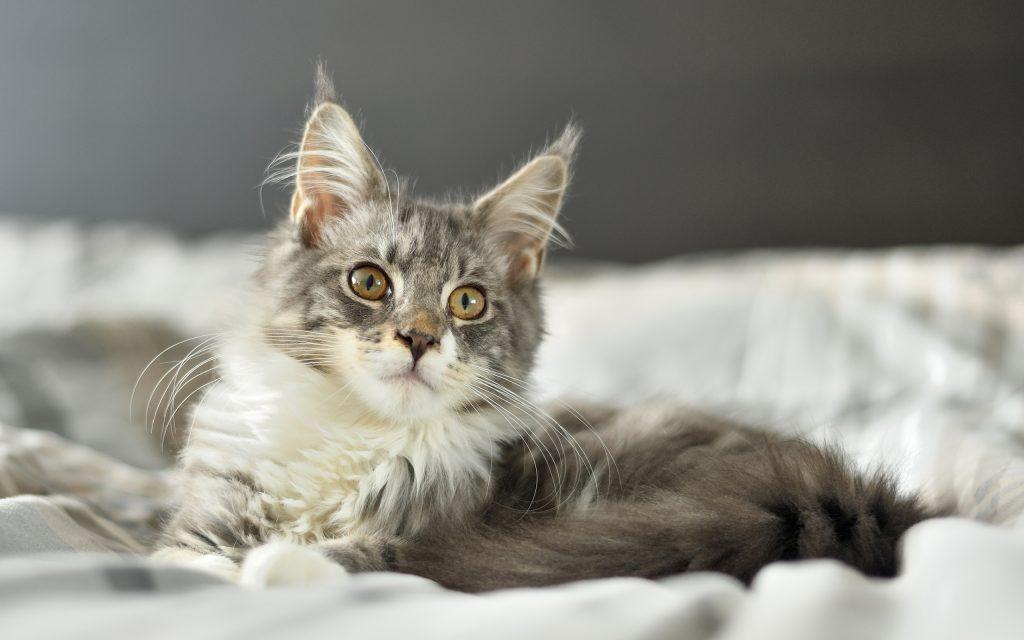Fond d'écran gratuit: Un mignon chaton gris Maine Coon • MonChat.ca