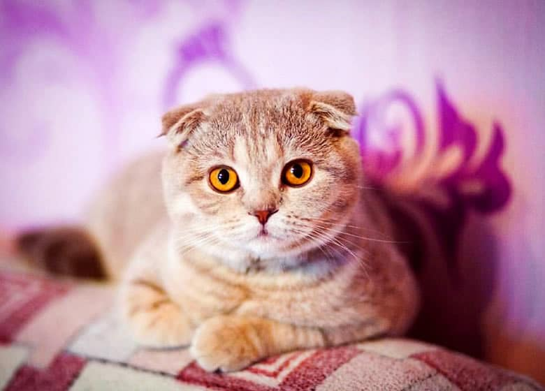 Adorable chat Scottish Fold, un bon chat d'appartement