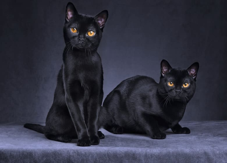 Chats noirs Bombay