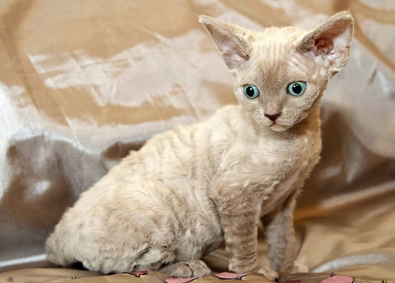Adorable chaton beige Devon Rex