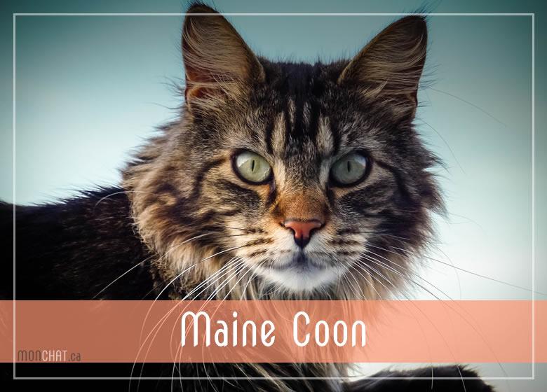 Liste des chatteries chat Maine Coon au Québec