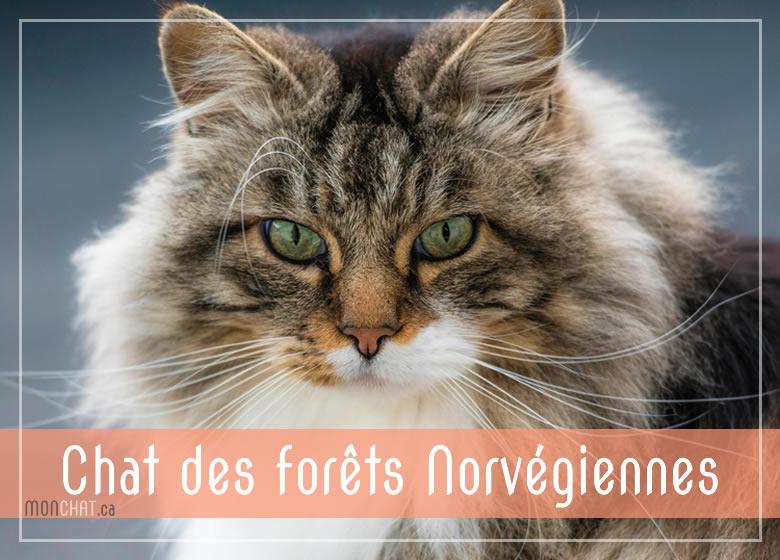 Liste des chatteries Chat des Forêt norvégiennes au Québec
