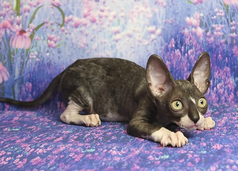 Chaton Cornish Rex